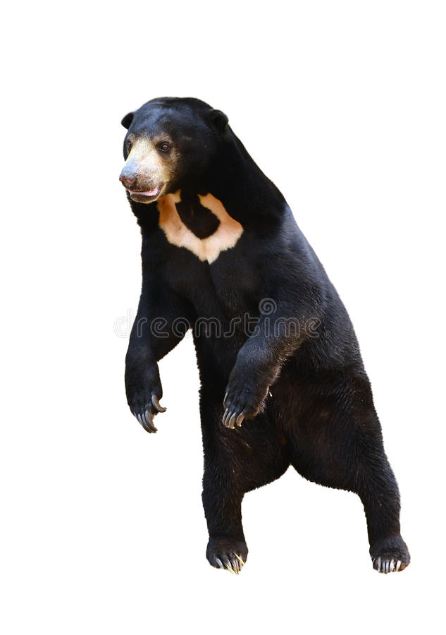 Free Malayan Sunbear Standing Isolated Royalty Free Stock Photography - 33555327