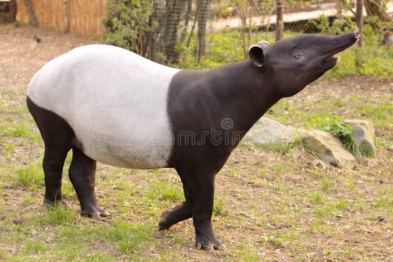 Malayan tapir royalty free stock photo