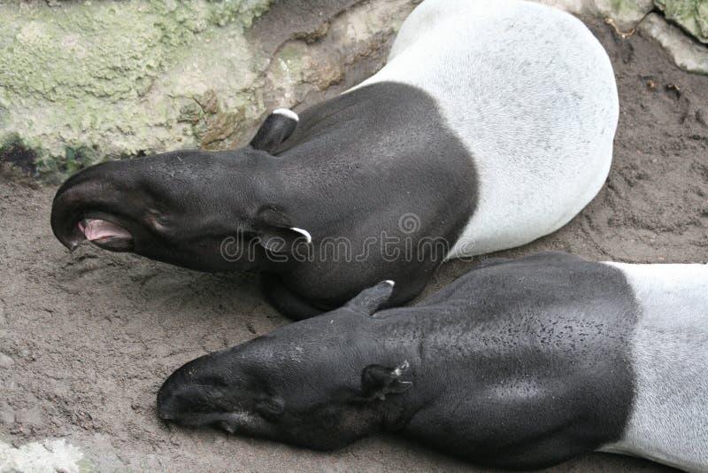 malayan tapir 2 стоковые изображения rf