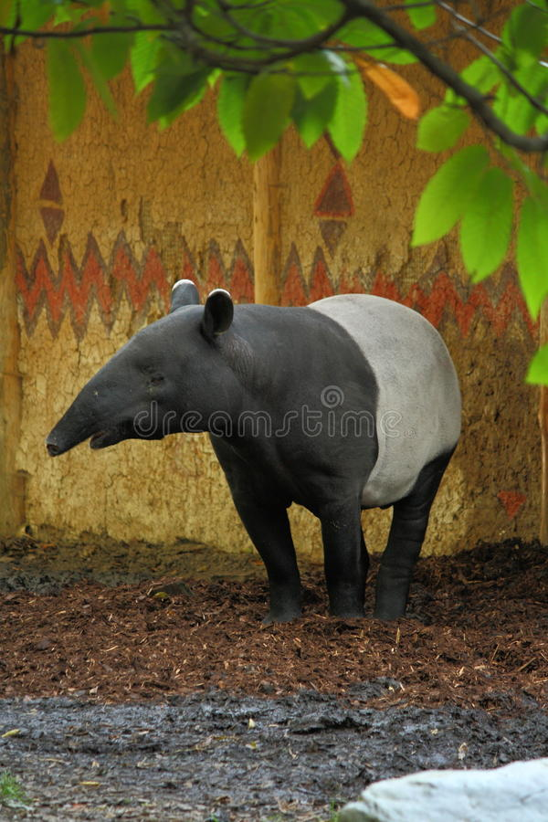 Malayan tapir στοκ φωτογραφίες