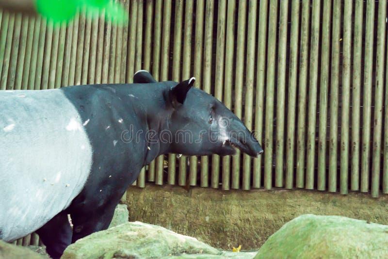 Malayan tapir i en zoo i Singapore arkivfoton