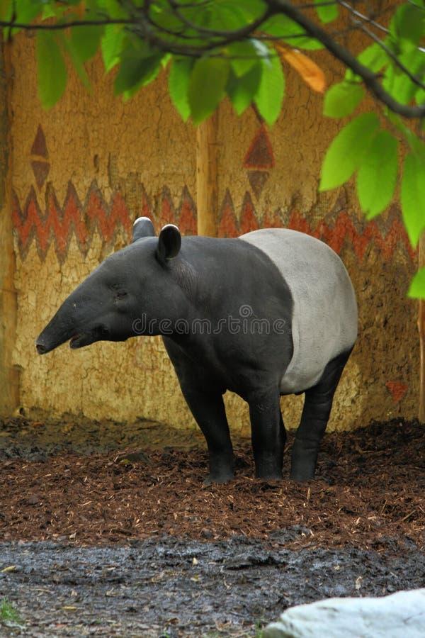 Malayan tapir stock photos