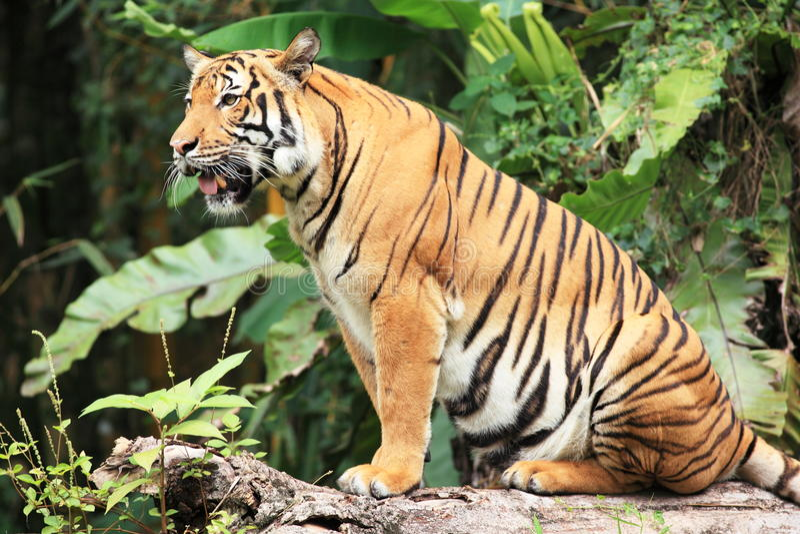 malayan tiger royaltyfria bilder