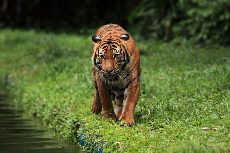 MALAYAN TIGER. The Malayan Tiger walking on the side of a local pool stock photos