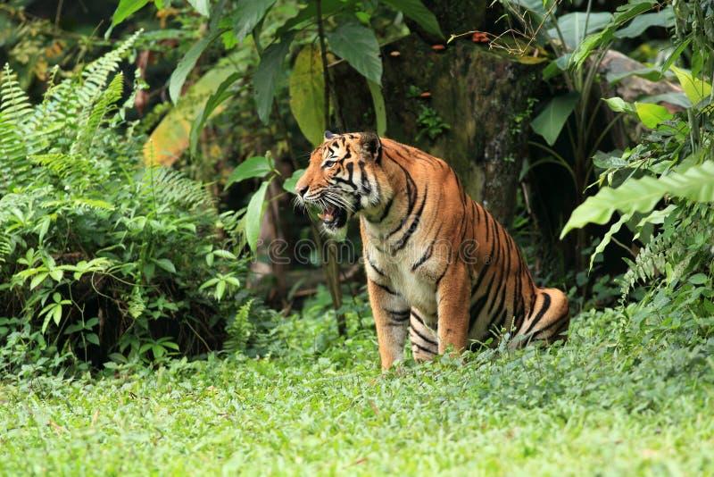 Download MALAYAN TIGER stock image. Image of bengal, carnivore - 16326681