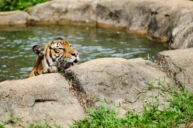 Download Malayan Tiger stock photo. Image of malayan, park, animal - 24760212