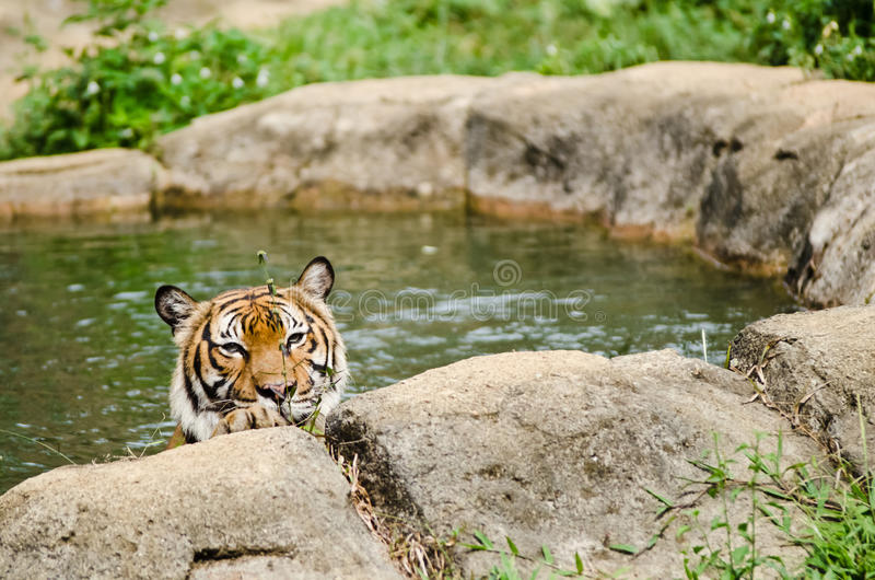 Download Malayan Tiger stock photo. Image of captivity, trees - 24760244