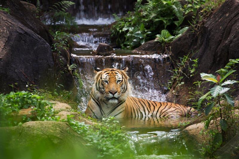 Download MALAYAN TIGER stock photo. Image of carnivore, nature - 28629926