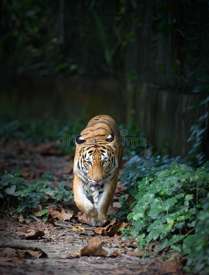 malayan tiger royaltyfria foton
