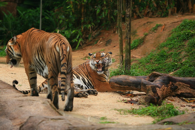 Malayan Tiger Couple. Until 2004, there were eight conventional classification of tigers. However, a test of the DNA of more than 130 tigers and tiger pelts royalty free stock photos
