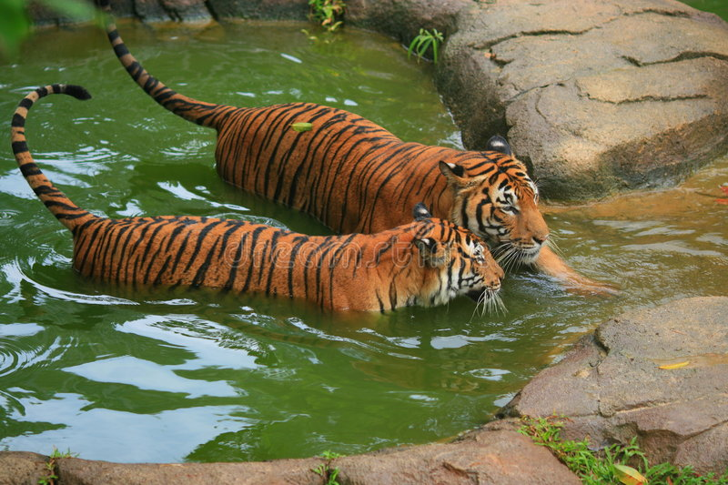 Malayan Tiger Couple Bathing. Until 2004, there were eight conventional classification of tigers. However, a test of the DNA of more than 130 tigers and tiger stock photography