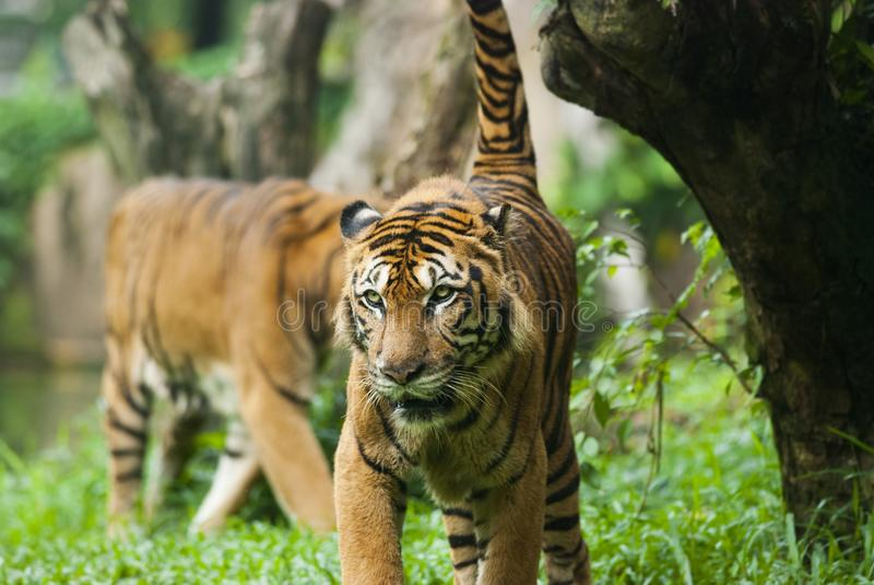 Malayan tiger, hotade arter arkivbild
