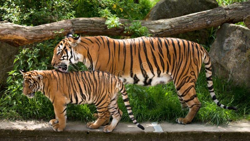 Malayan tiger, moder med kattungen royaltyfri foto