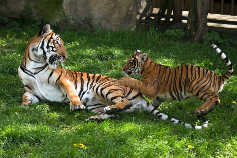 Malayan tiger, moder med kattungen royaltyfri fotografi