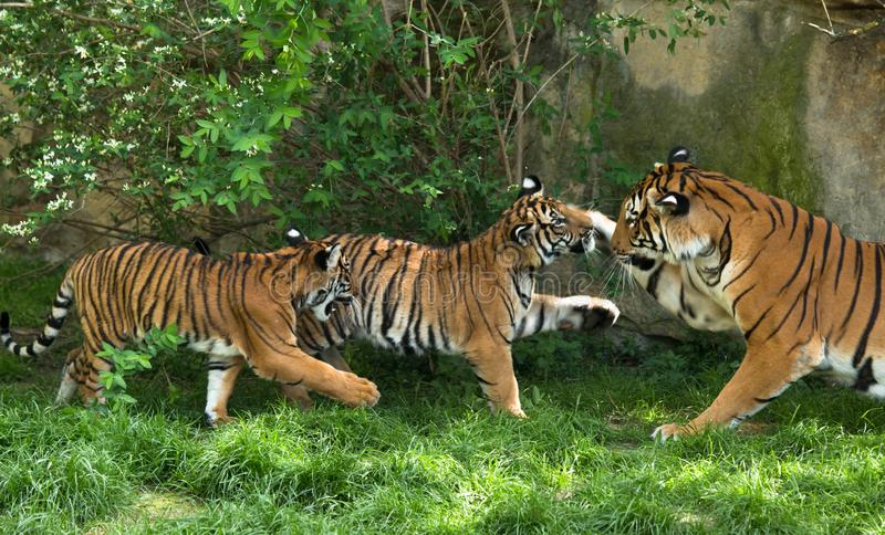 Malayan tiger, mother with kittens stock image