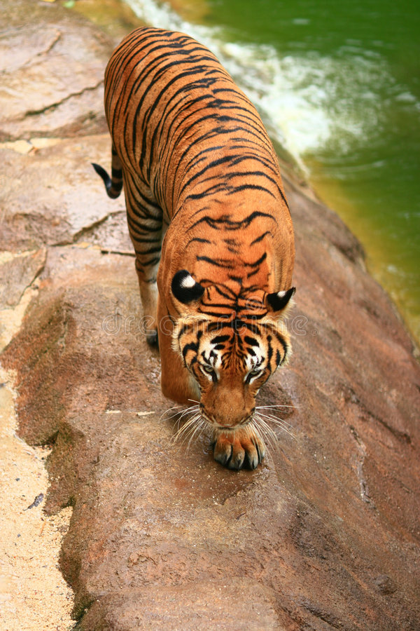 Malayan Tiger from top. Until 2004, there were eight conventional classification of tigers. However, a test of the DNA of more than 130 tigers and tiger pelts royalty free stock photos
