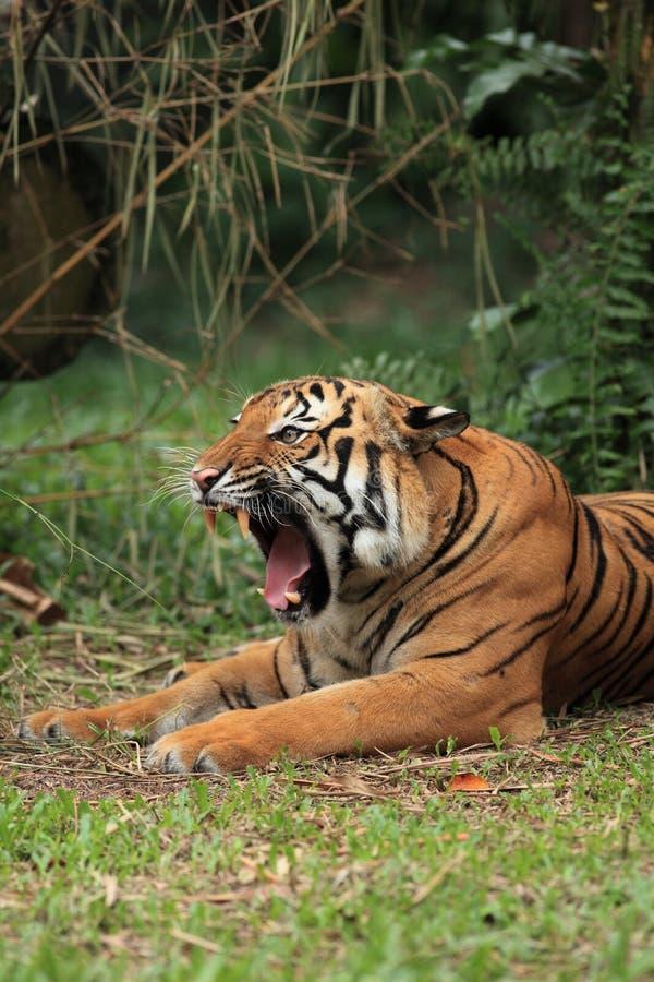 Malayan Tiger Yawning