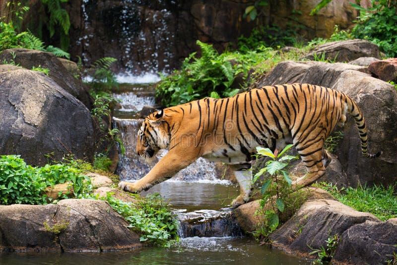 MALAYAN tygrys fotografia stock