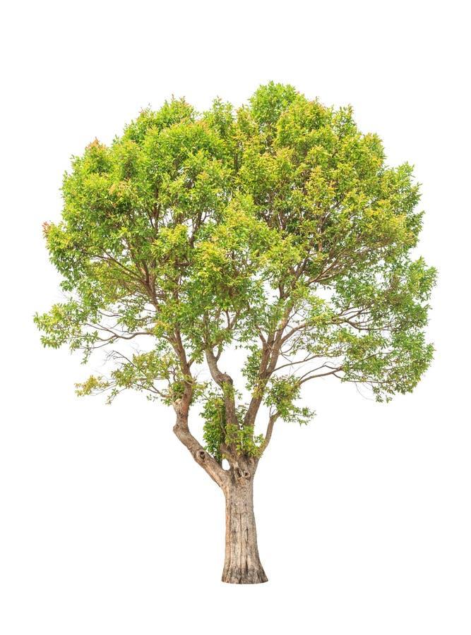 Malayana D\'Irvingia également Connu Sous Le Nom D\'arbre D\'amande ...