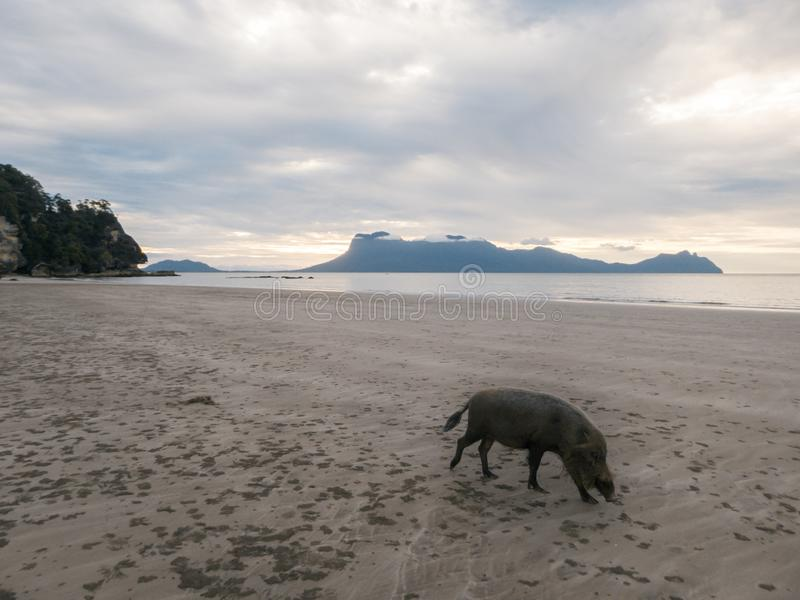 Malaysia - löst svin på stranden i Borneo fotografering för bildbyråer