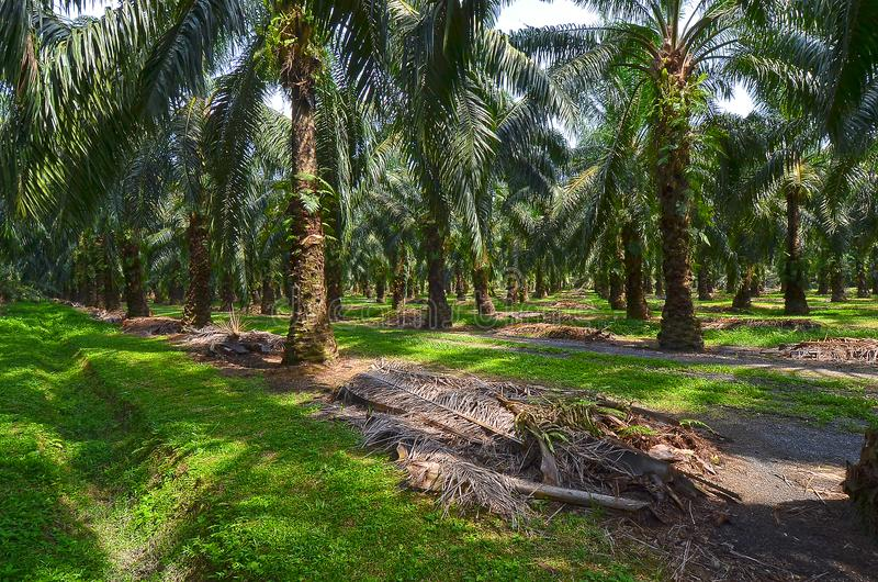 Oil Palm Plantation. Malaysia is the second-largest producer of Palm Oil, and a major exporter. The Malaysian Palm Oil Council MPOC represents the interests of royalty free stock photo