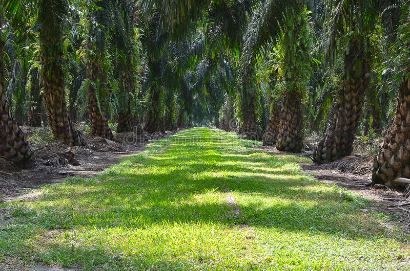 Oil Palm Plantation. Malaysia is the second-largest producer of Palm Oil, and a major exporter. The Malaysian Palm Oil Council MPOC represents the interests of stock image