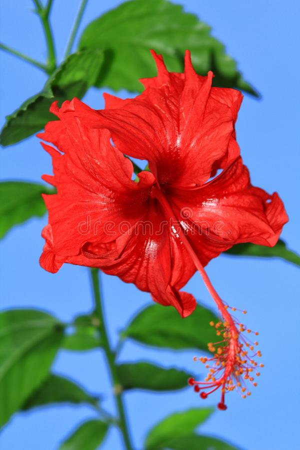 Malaysian hibiscus rosa-sinensis. Red hibiscus rosa-sinensis with blurred green leaf as backdround royalty free stock image