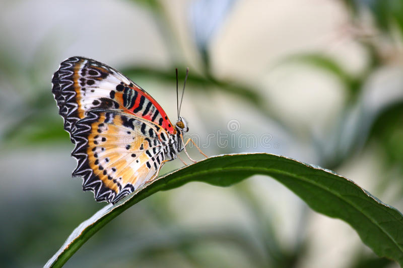 Malaysian Lacewing Butterfly on long leaf plant. Malaysian lacewing butterfly on a long leaf plant with backlit background stock photo