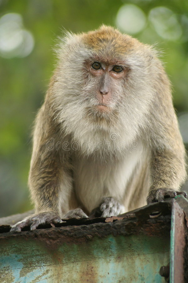 Download Malaysian Monkey stock image. Image of looking, hair, eyes - 471171