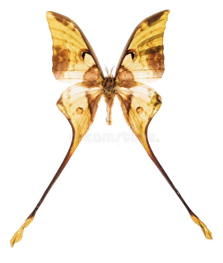 Malaysian moon moth isolated on white. Malaysian moon moth Actias maenas isolated on white background royalty free stock photography