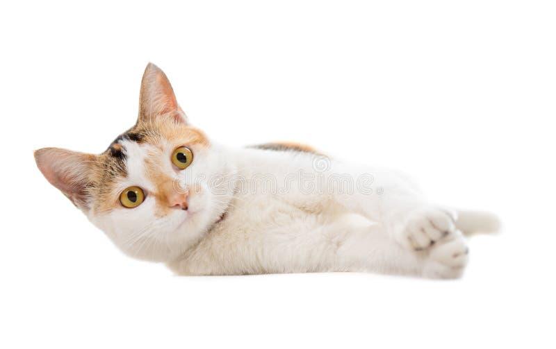 Malaysian short haired cat lying