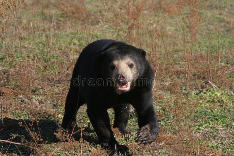 Malaysian sun bear stock image
