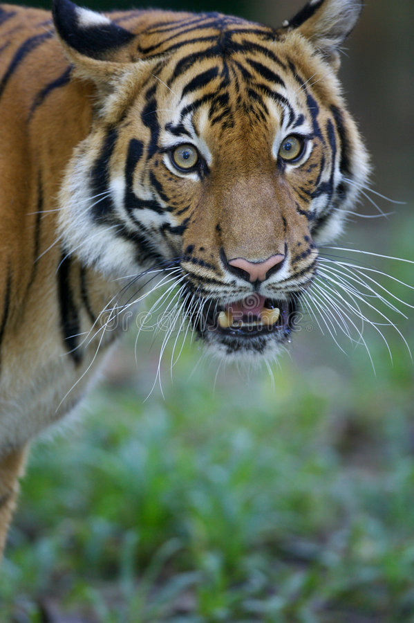Download Malaysian Tiger Stock Images - Image: 3600314