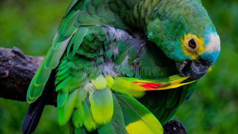 Malaysischer Papagei, der oben ankleidet stockfotos