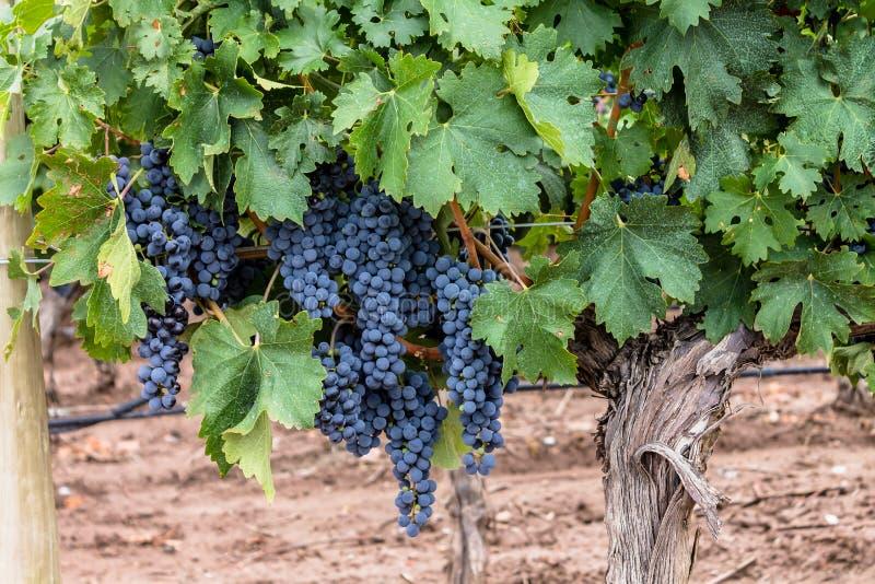 Malbec Grapes royalty free stock image
