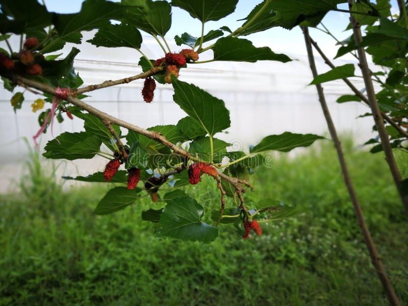 Malberry, jardim natural do Morus fotos de stock royalty free