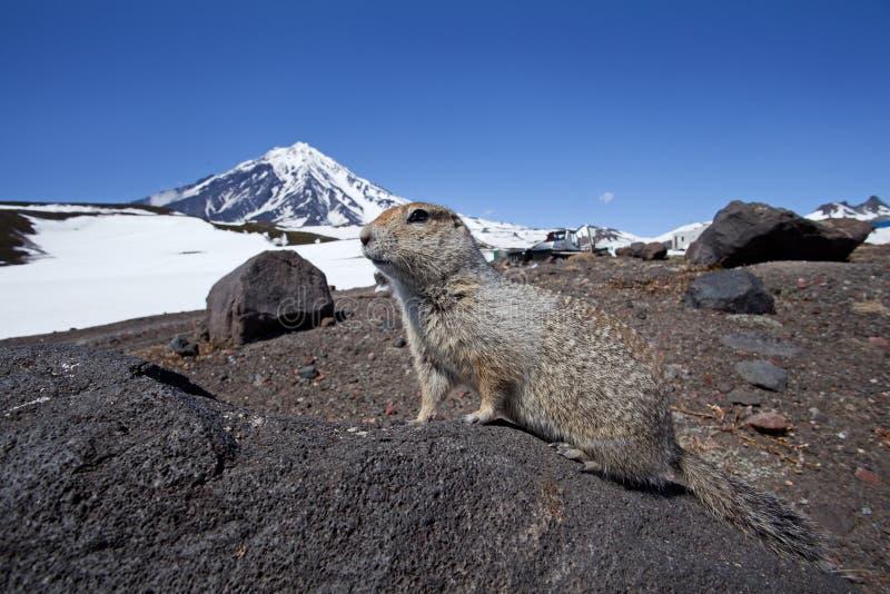 Mald ekorre, Ryssland, Kamchatka halvö fotografering för bildbyråer