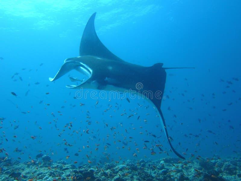 maldive ακτίνα manta στοκ φωτογραφία με δικαίωμα ελεύθερης χρήσης