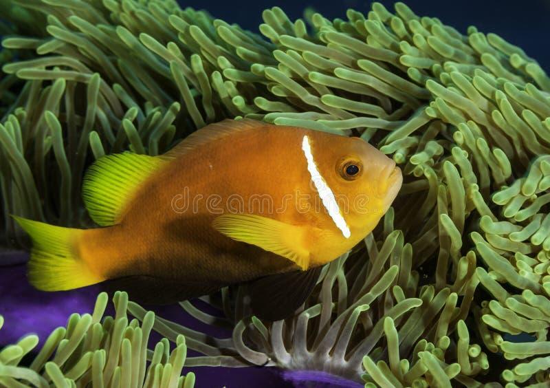 In Maldive, il colore variopinto del underwater e della zanna ha colorato le acque, vari generi di pesce fotografie stock libere da diritti
