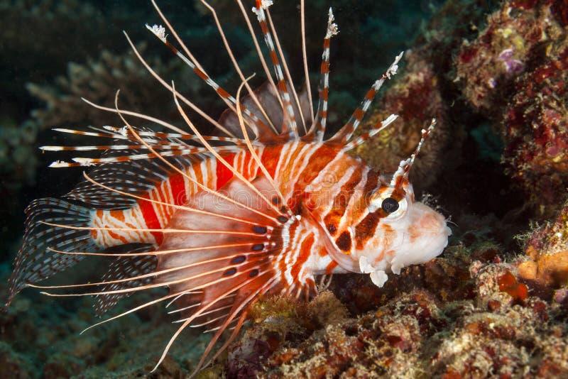 In Maldive, il colore variopinto del underwater e della zanna ha colorato le acque, vari generi di pesce fotografia stock