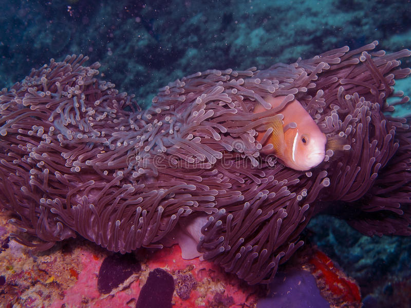 Maldives-Anemonefische (Amphiprion nigripes) stockfotos