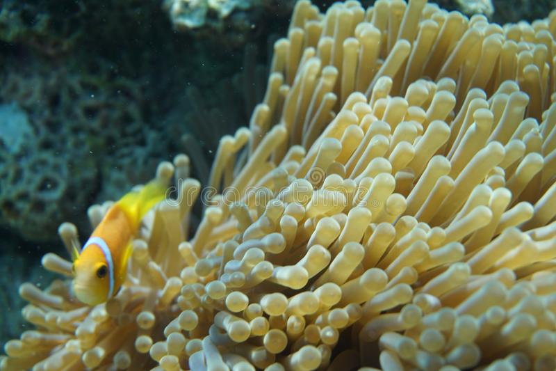Maldives anemonefish Amphiprion nigripes obraz stock