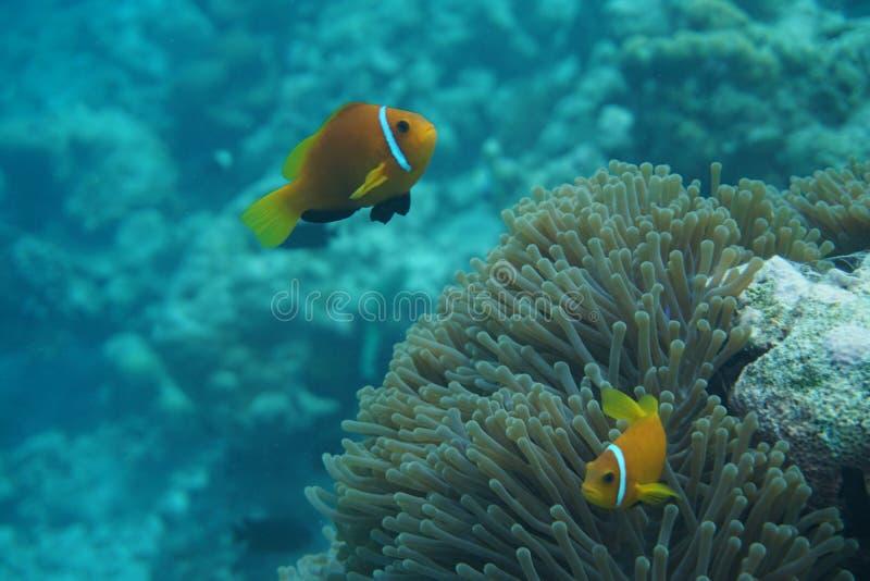Maldives anemonefish Amphiprion nigripes fotografia stock