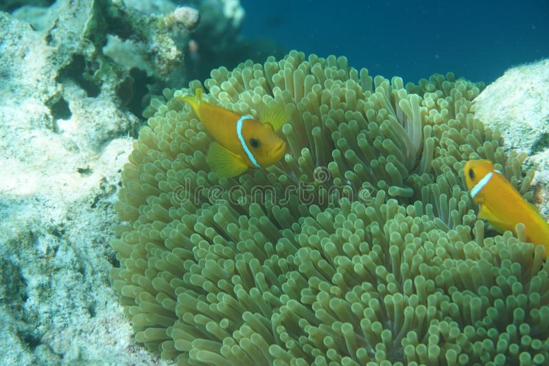 Maldives anemonefish Amphiprion nigripes zdjęcie stock