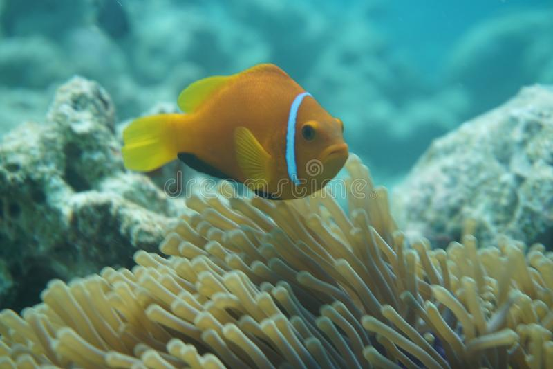 Maldives anemonefish Amphiprion nigripes zdjęcia stock