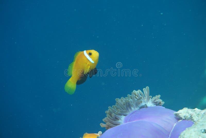 Maldives anemonefish Amphiprion nigripes zdjęcie royalty free