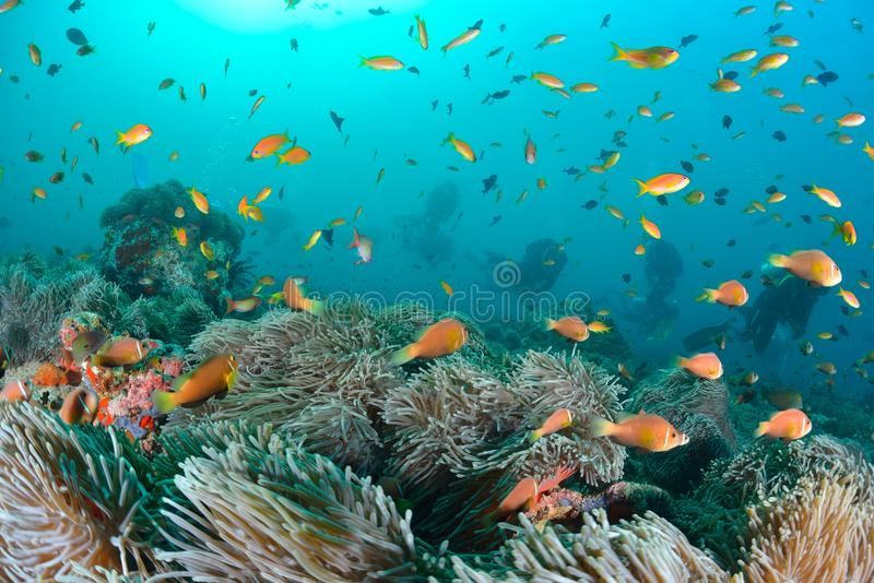Maldives Anemonefish. Sea or ocean underwater with coral reef stock photos