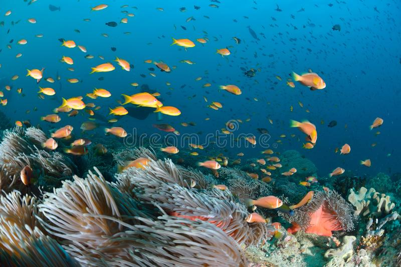 Maldives Anemonefish. Sea or ocean underwater with coral reef royalty free stock photography