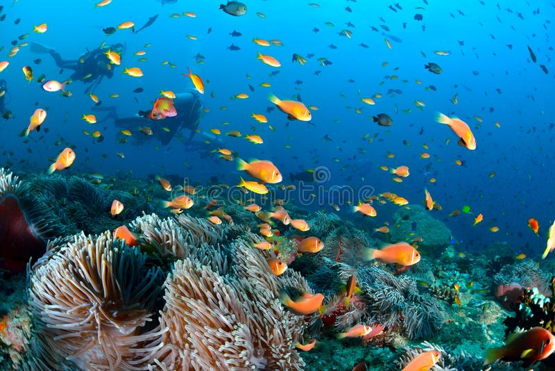 Maldives Anemonefish. Sea or ocean underwater with coral reef stock photo