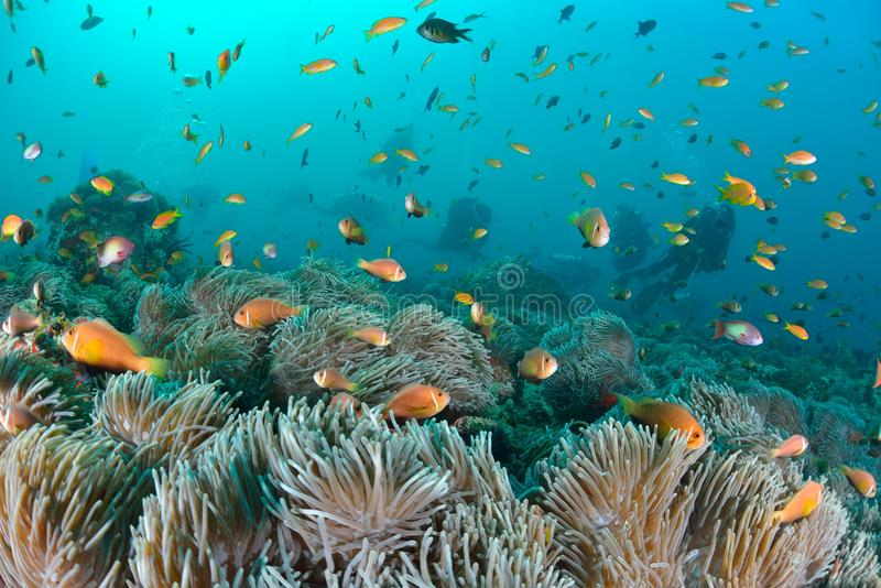 Maldives Anemonefish. Sea or ocean underwater with coral reef royalty free stock photos